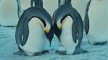 【狂野动物王国】年轻的企鹅夫妇经验不足孵蛋失败了