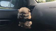 为宠物坐车定制安全带 宝宝心里苦主人你知道嘛