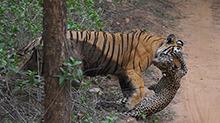 虎豹对决!母老虎丛林中捕食豹子场面惊险