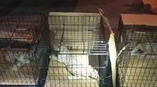 被藏在后备箱 三只濒危小白虎获救