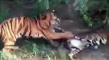 动物园一老虎越界 被八只老虎围攻咬死