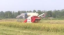 今天起 我省正式实施2016年中晚稻最低收购价预案 每百斤最低收购价138元