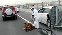 公路惊现老虎 原来是土豪家宠物闹脾气