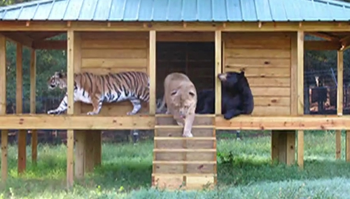 最甜蜜 狮子老虎熊相亲相爱十五年