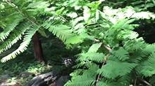 【一点植物学】植物界的活化石水杉