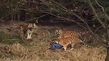 宁波:<B>动物</B>园发生<B>老虎</B>伤人事件 游客近距离逗虎被叼走