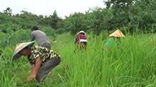 洪江市:桃园不喷除草剂 贫困户们来锄草