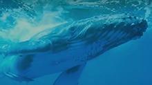 鲸鱼搁浅之谜