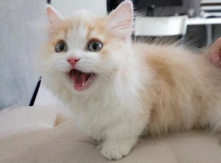 小奶猫屁毛太长总沾臭臭